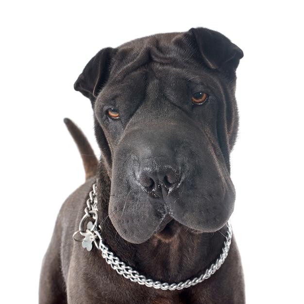 Cão shar pei Foto Premium