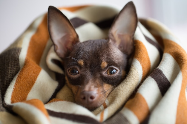 Cão sob uma manta. pet aquece debaixo de um cobertor Foto Premium