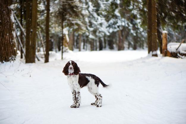 Cão springer spaniel inglês na natureza de inverno Foto Premium
