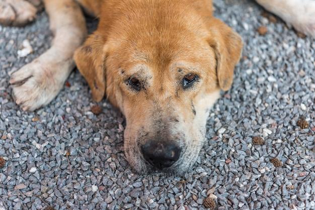 Cão vadio marrom tailandês dormindo com solitário e falta Foto Premium