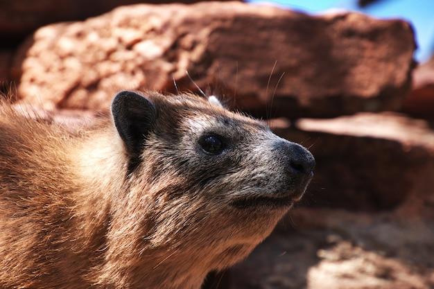 Capivara no safari no quênia e na tanzânia, áfrica Foto Premium