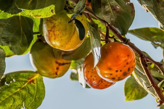 Caqui amadurece em um galho de árvore Foto Premium