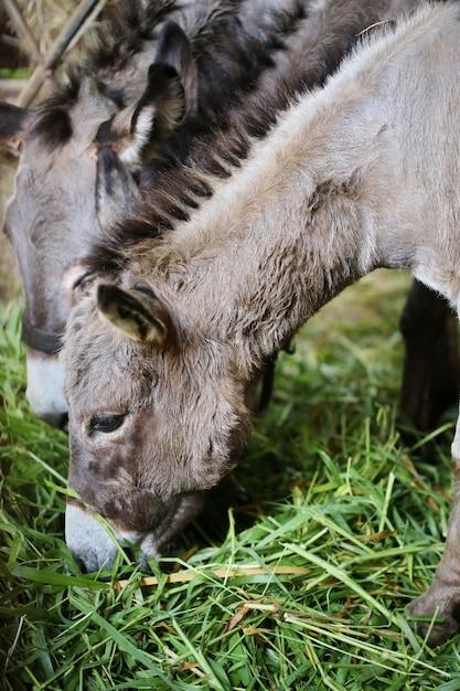 Cara de mula na fazenda e sol à noite Foto Premium