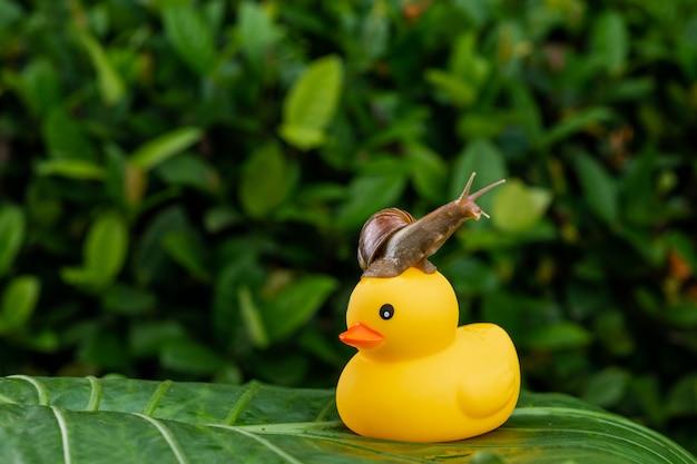 Caracol achatina com uma concha marrom sentado no topo de um pequeno pato de borracha amarelo em pé em uma grande folha verde posa entre folhagem verde molhada Foto Premium
