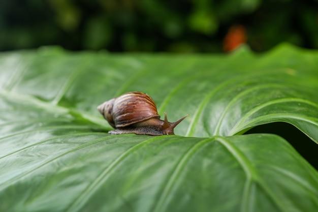 Caracol pequeno de achatina que rasteja em uma folha verde. cosmetologia Foto Premium