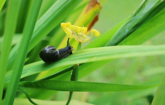 Caracol preto pequeno que rasteja na folha verde com a flor amarela na manhã do verão. Foto Premium
