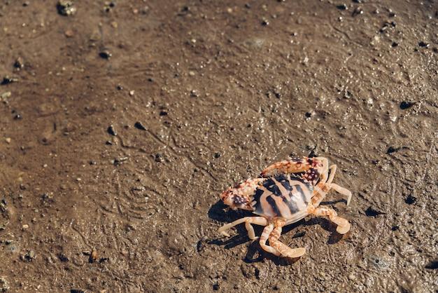 Caranguejo tigre, andar, sobre, baixo, maré, em, mangrove, floresta, em, toong, pronge, baía Foto Premium