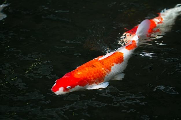 Carne de carpa nadando na lagoa Foto gratuita