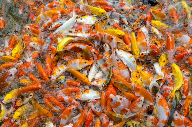 Carpa de alimentação na lagoa. carpa extravagante colorida, peixe do koi que aglomera junto a competição pelo alimento. Foto Premium