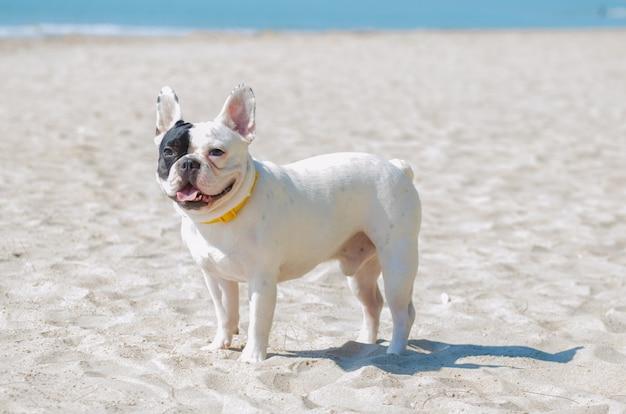 Carrinho de buldogue francês na praia de areia Foto Premium