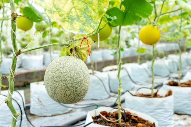Casa de vidro de melão berçário tailândia Foto Premium