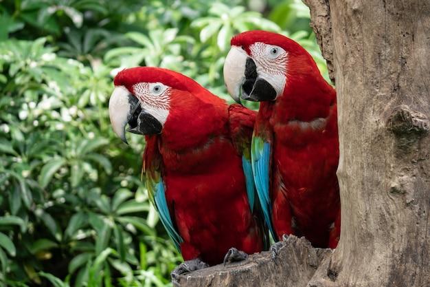 Casal colorido pássaro papagaio de arara vermelha na árvore da natureza Foto gratuita