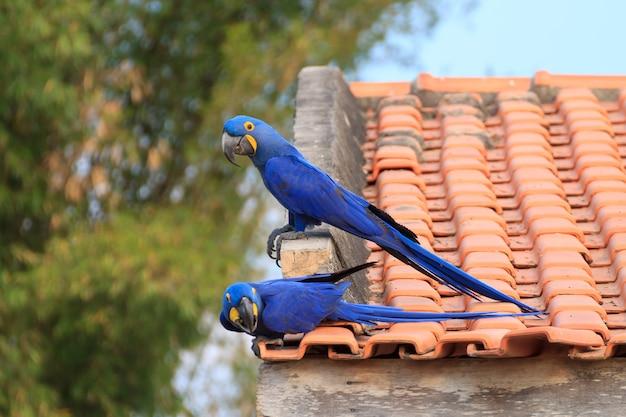 Casal de arara-azul do pantanal Foto Premium