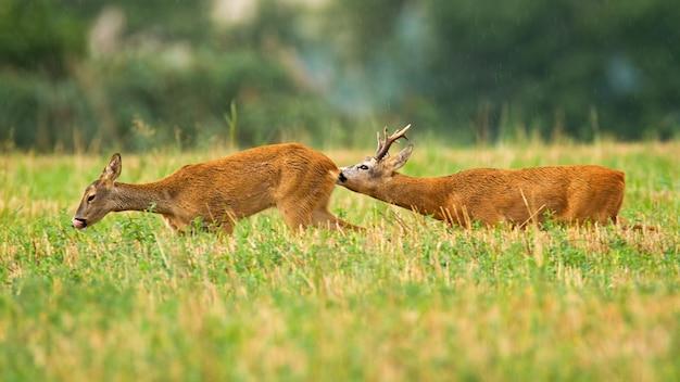 Casal de corça buck e corça na temporada de acasalamento no verão no campo de restolho Foto Premium