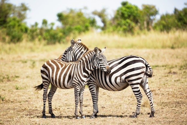 Casal de zebra na savana da áfrica. parque nacional masai mara, quênia Foto Premium