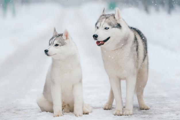 Casal husky siberiano no inverno Foto Premium