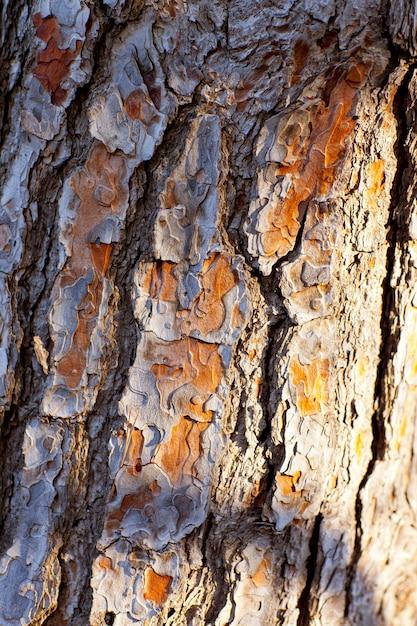 Casca de textura de tronco de pinheiro Foto Premium