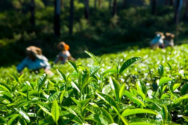 Catadores de chá que trabalham em kerela india. Foto gratuita