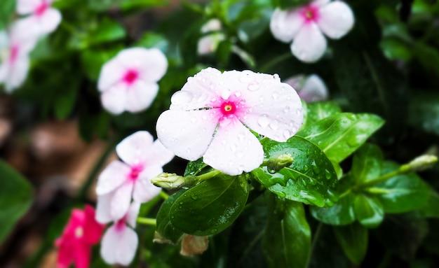 Catharanthus roseus, madagascar periwinkle, flores brancas e gotas de chuva em um jardim refrescante Foto Premium