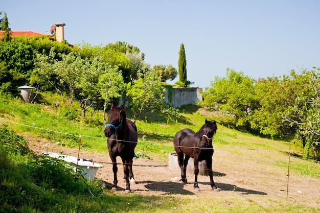 Cavalo pastando Foto Premium