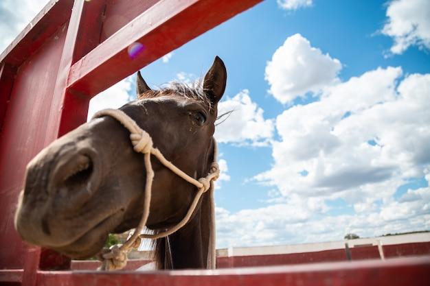 Cavalo pequeno enfiando a cabeça para fora através de uma cerca na fazenda Foto Premium