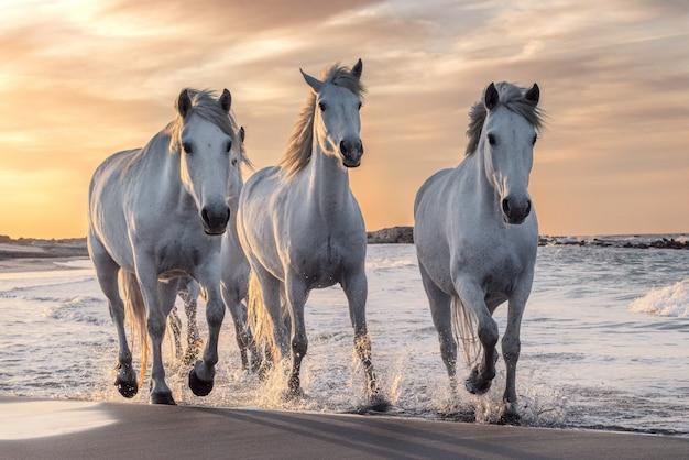 Cavalos brancos em camargue, frança. Foto Premium