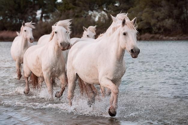 Cavalos brancos na praia Foto Premium