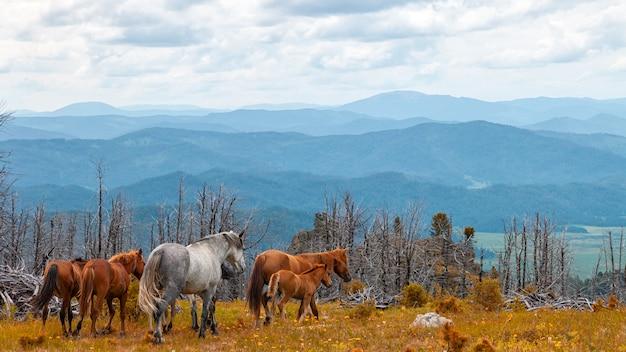 Cavalos cinzentos e marrons que correm livre no prado com a floresta com contexto da montanha alta, do rio e do céu. Foto Premium