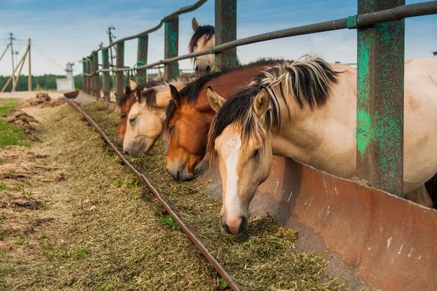 Cavalos com fome na caneta Foto Premium