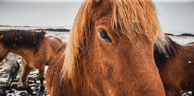Cavalos da islândia correm em um recinto nevado, ambientalistas tentam preservar a pureza da espécie. Foto Premium