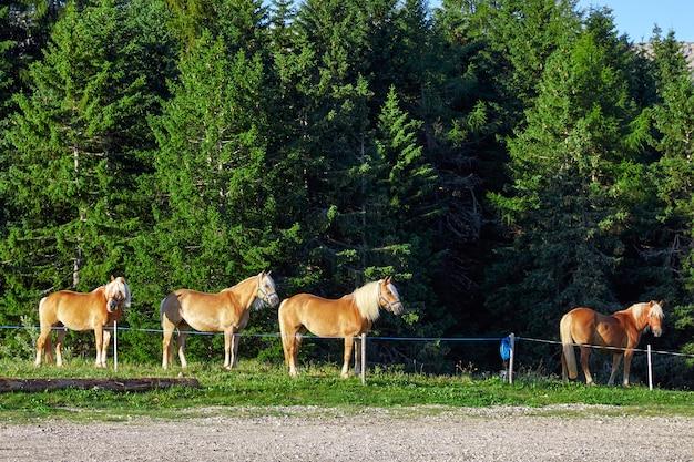 Cavalos em dolomite plateau Foto Premium