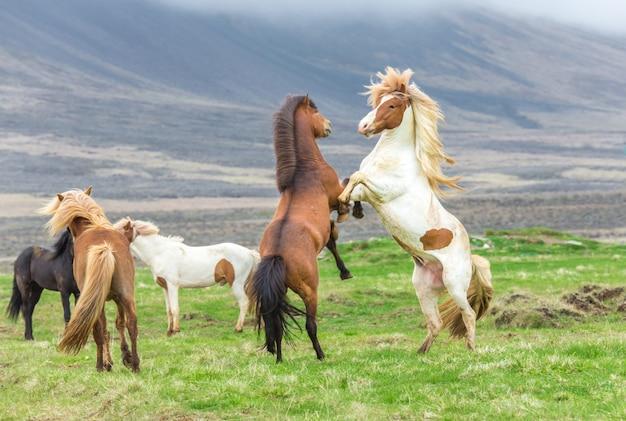 Cavalos islandeses lutando Foto Premium