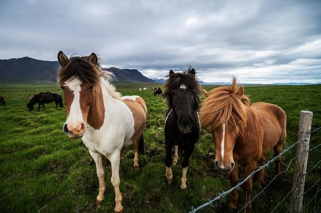 Cavalos islandeses na natureza Foto Premium