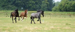 Cavalos na holanda, potro Foto gratuita