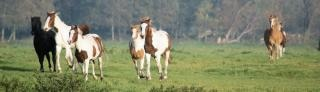 Cavalos na holanda, preto Foto gratuita