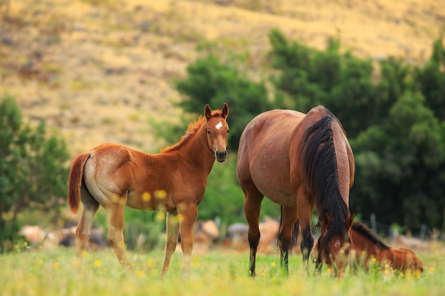 Cavalos no pasto de primavera Foto Premium