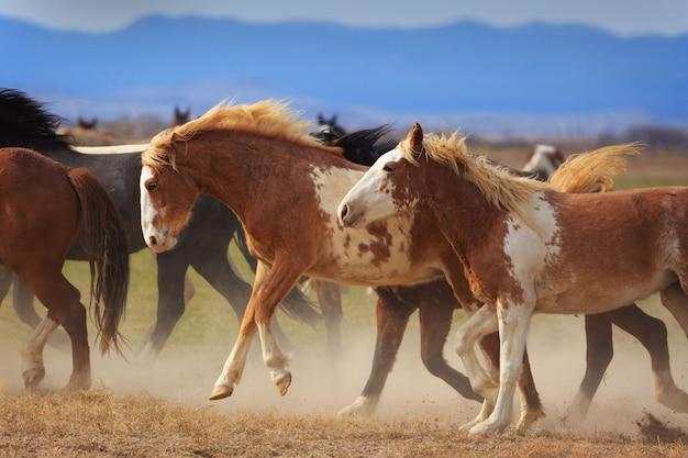 Cavalos selvagens correndo Foto Premium