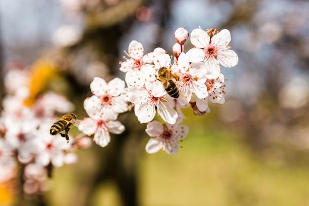 Cena de natureza primavera closeup de duas abelhas polinizando flores de cerejeira rosa brancas em dia ensolarado Foto Premium