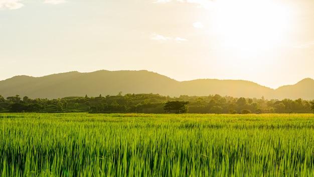 Cena do pôr do sol ou nascer do sol no campo com arroz no verão no norte da tailândia Foto Premium