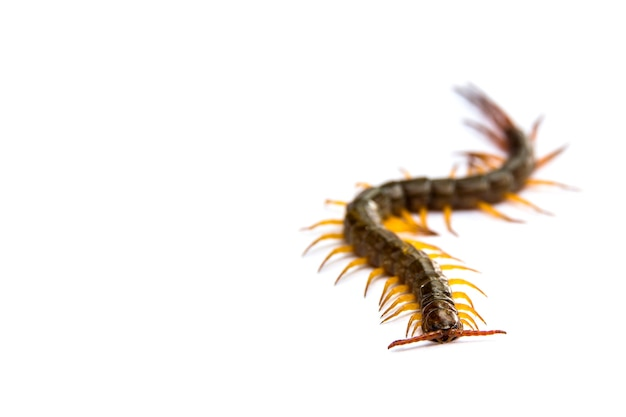 Centopéia na frente de fundo branco, worm Foto Premium