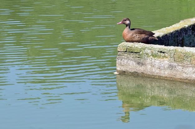 Cerceta brasileira que descansa na parede do fosso da costa do lago Foto Premium