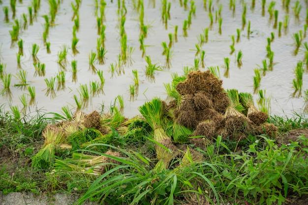 Cereal com campo de planta verde de arroz na Foto Premium