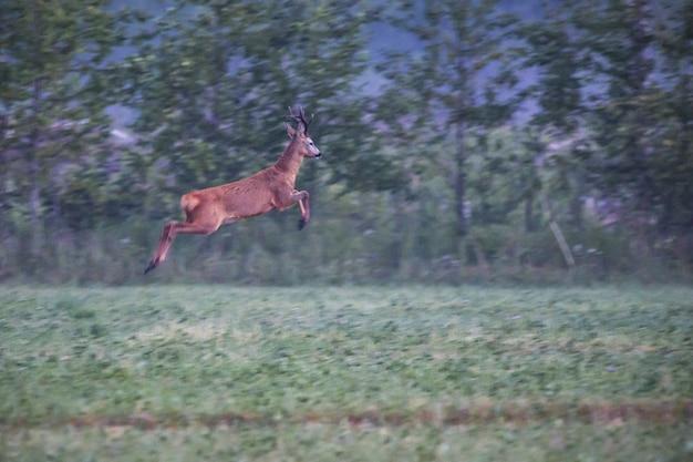 Cervos pulando em campo verde Foto gratuita