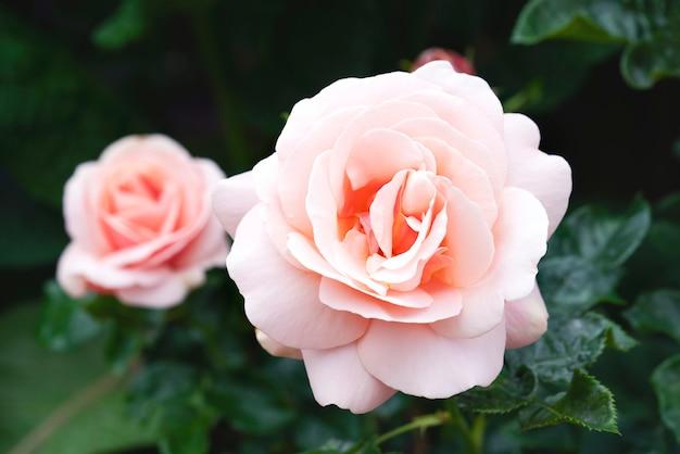 Chá híbrido de afrodite rosa no jardim inglês Foto Premium
