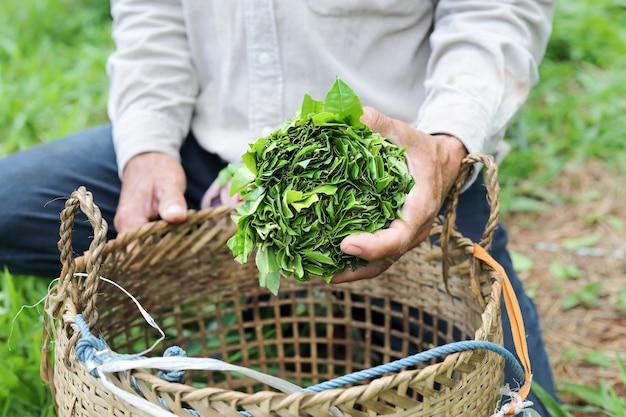 Chá selvagem (assam tea) no norte da tailândia, camellia sinensis var. assamica Foto Premium