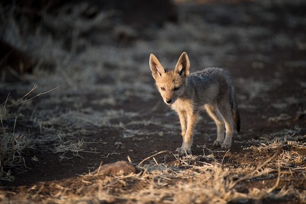 Chacal bebê fofo andando sozinho em um campo de mato com um fundo desfocado Foto gratuita