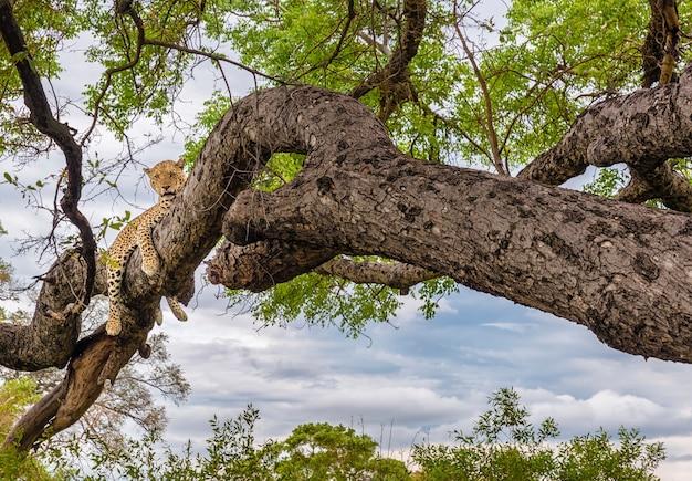 Cheetah nos galhos de uma árvore, cheetah na árvore em serengeti, na tanzânia Foto Premium