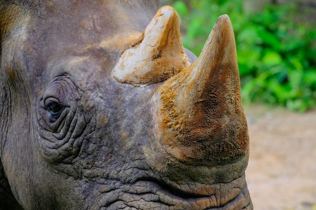 Chifre de rinoceronte mamífero animal closeup no zoológico Foto Premium