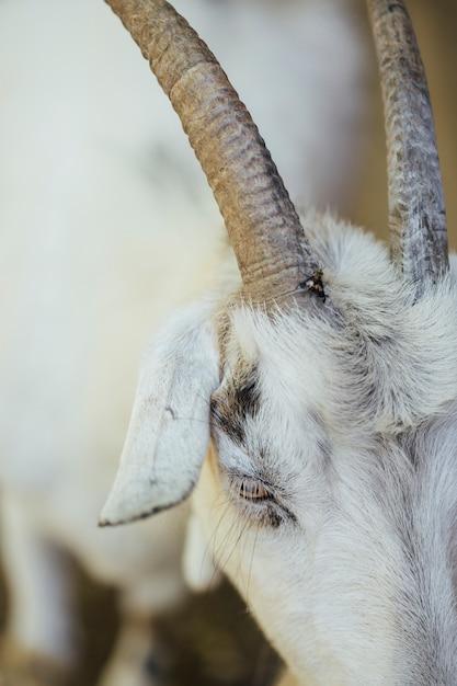 Chifres de cabra fazenda close-up Foto gratuita