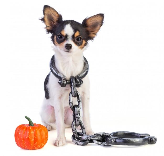 Chihuahua com algemas no pescoço ao lado de uma mini abóbora para o halloween Foto Premium